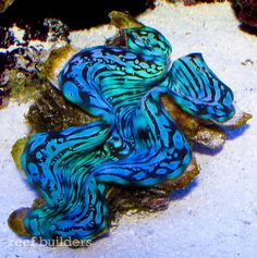 Blue Squamosa clams are among the rarest invertebrates