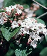 Korean Spice Viburnum (Viburnum carlesii) - Monrovia - Korean Spice Viburnum (Viburnum carlesii) -also comes in a dwarf variety; fragrant!