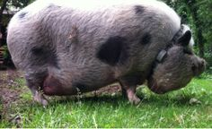 This is Kevin Bacon...he lives in Bothell, WA with  three small dogs. He was a house pig when he was small, but now he stays safely outside on his property with an Invisible Fence® Brand containment solution.