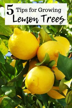 It's so much fun to pick your own lemons when you want to add a slice to a glass of iced tea. These 5 Easy Tips for Growing Lemon Trees will help you grow your own lemons. ideas 5 Tips for Growing Lemon Trees Growing Lemon Trees, Growing Tree, Growing Plants, Home Vegetable Garden, Fruit Garden, Garden Plants, Indoor Garden, Garden Insects, Outdoor Gardens
