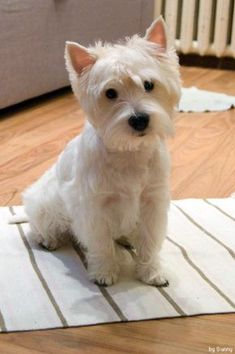 Love, Love, Love this look! this is my dream dog..l want the mini..