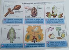 Le bourgeon du marronnier (affiche scolaire) Education, Permaculture, School, Images, Garden, Learn French, Peda, School Posters, Bud