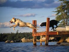 Good times at the lake - Labs.