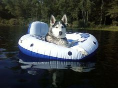A lazy afternoon down the river... the Siberian Husky way.