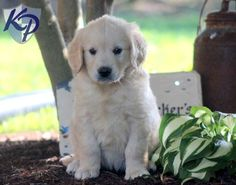 Maragold – Golden Retriever Puppy www.keystonepuppies.com  #keystonepuppies  #goldenretriever