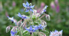 Mit seinen strahlend blauen Sternblüten macht der einjährige Borretsch so mancher Prachtstaude Konkurrenz. Die 50 bis 80 Zentimeter hohen Stiele besitzen große, weiche Blätter. Charakteristisch sind ihre borstige Behaarung sowie der starke Gurkengeruch. Borretsch ist eine hervorragende Bienenweide.