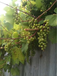 Growing scuppernong grapes from seed and growing grapes gold coast. Grapes And Cheese, Cheers, Grape Vineyard, Grape Trellis, Mint Plants, Keto Fruit, Wine Vineyards, Fruit Painting, Green Grapes