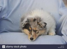 longhaired-collie-puppy-ERK7RY.jpg (1300×955)