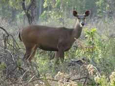 Do you know, Sambhar deer are excellent swimmers. #AmazingFacts‬  #Deer #CorbettNationalPark‬