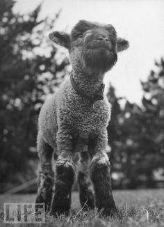 Lamb Stikes a Pose. Click through for more sweet little lambs.