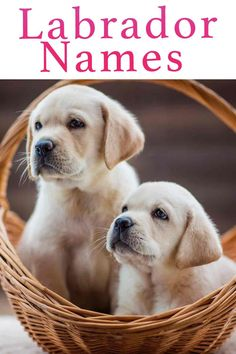 Labrador Names – Over 300 Yellow, Black and Chocolate Lab Names Puppies Names Female, Dog Names Male, Puppy Names, Pet Names, Fox Red Labrador Puppy, White Lab Puppies, Black Labrador, Yellow Lab Names, Black Lab Names