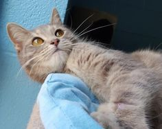 Sandy 23886 is an adoptable Domestic Short Hair searching for a forever family near Prattville, AL. Use Petfinder to find adoptable pets in your area.