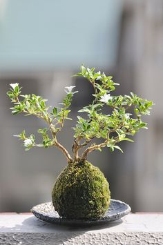 Unique bonsai kokedama Ball Ideas for Hanging Garden Plants selber machen ball Bonsai, Japanese Garden, Plants, Miniature Garden, Planting Flowers, Miniature Trees, Kokedama, Bonsai Plants, Hanging Garden