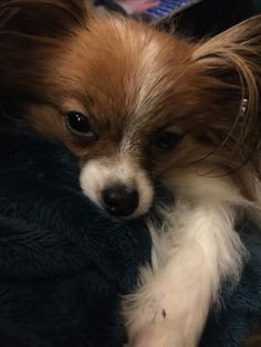 516 best papillons images on pinterest cubs dog biscuits and dog cat papillion dog papillon puppies dog facts little dogs big dogs dogs and puppies animal pics happy animals dog love papillon dog smallest dog solutioingenieria Images