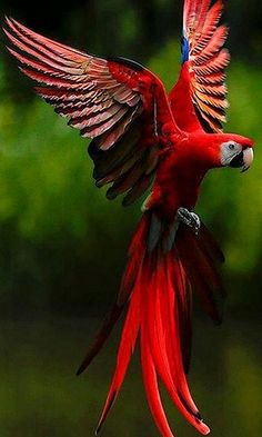 "Scarlet Macaw. the one large macaw that has no feathers on its ""leather,"" the white area around the eyes. And there is NO redder than the scarlet. Would love to have one, as they are gentle, playful, very trainable, and wonderful companion birds."