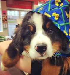 here's nothing sweeter than an adorable face like this one. Finnigan, a Bernese Mountain Dog, is rockin' the 'Rubber Ducky' look! Bermese Mountain Dog, Doggies, Dogs And Puppies, Entlebucher, Baby Animals, Cute Animals, Swiss Mountain Dogs, Crazy Dog Lady, Cute Dogs Breeds