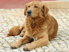 "Most Popular Dog Breeds in the Philippines – It""s an issue of perspective. Many factors are believed but in the day's close . Learn who made the record and find out some facts about them. #GoldenRetriever"