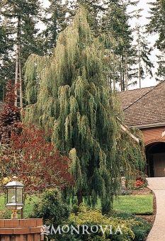 Tolleson's Blue Weeping Juniper (Juniperus scopulorum 'Tolleson's Blue Weeping')  moderate growth rate, 10 ft wide, 20 ft tall