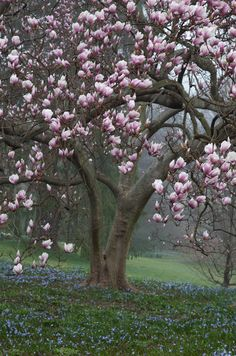 magnolia tree, one of my favorites. slow growing tree with tulip like flowers in the early spring