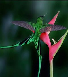 Long tail Sylph Humming Bird . Beautiful Hummingbird