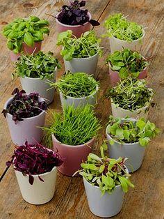 microgreens in pots.jpg