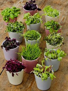 I'm starting my microgreen windowsill garden next week! I ordered a spicy salad mix and clover.