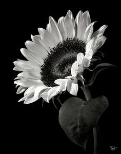 Sunflower In Black And White Poster By Endre Balogh
