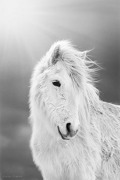 An Icelandic horse in its thick winter coat. Photo by Gígja