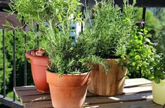 Growing an indoor herb garden and growing herbs indoors for beginners is great for when you're cooking & adds to your overall good health Balcony Herb Gardens, Apartment Balcony Garden, Apartment Balcony Decorating, Tiny Balcony, Apartment Living, Balcony Gardening, Living Room, Home Grown Vegetables, Growing Vegetables