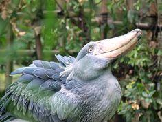 上野動物園 Balaeniceps rex ハシビロコウ ペリカン目ハシビロコウ科の鳥類の一種。