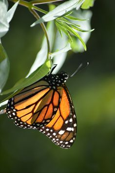 Backlit Monarch hangs from sunny leaves   Flickr - Photo Sharing!
