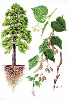 Stromy | Šavani Garden Trees, Trees To Plant, Plant Leaves, Botanical Illustration, Botanical Prints, Tree Leaf Identification, Teaching Plants, Science Illustration, Nature Activities