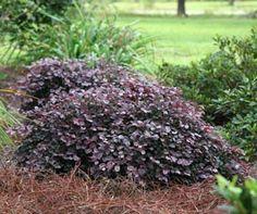 PURPLE PIXIE™ Loropetalum is a groundcover plant with rich purple foliage