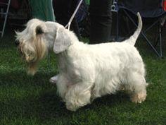 El Sealyham Terrier es una raza poco común que proviene de Gales. Es un terrier de pequeño a mediano tamaño que se originó como perro de trabajo.