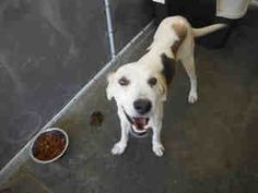 #NCAROLINA #URGENT ~ ID A009223 is a Treeing Walker Coonhound dog in need of a loving #adopter or #rescue at PENDER COUNTY ANIMAL SHELTER  3280 New Savannah Rd #Burgaw NC 28425   PH 910-259-1349