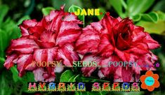 ❀⊱ ADENIUM OBESUM DESERT ROSE ❀ HYBRID ❁ HOUSE BONSAI SEEDS Ƹ̵̡Ӝ̵̨̄Ʒ⊰✾ 2NS18