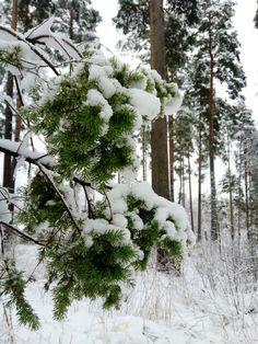 Katajan oksa, ihanan vihreä talven valkoisessa metsässä. #talvi