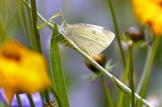 """https://flic.kr/p/JB2oL5   Koolwitje (Pieris rapae)  """"In Explore""""    Ronddwarrelende witte vlindertjes rond de bloemen in de tuin:  een vertederend zomers beeld.   Het vlindertje op zich is   onschuldig,     de rupsen   hebben hun naam te danken aan de kolen, die ze verkozen hebben tot lievelingsplaats om er zich van ei tot vlinder te ontpoppen.   Thanks for visit and comments Please no Invited Images of a group within comments   Please no photos…"""