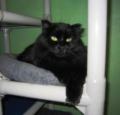CookieLee is an adoptable Domestic Long Hair-Black Cat in Fairbanks, AK. Cookie Lee is just plain cute, especially with her new lion cut. She had to be given up due to allergies. She's a little shy bu...