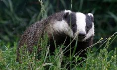 There's only one reason for this badger cull – votes. The latest cull is not honest, scientific or even effective at containing bovine TB. It is simply a political move to appease countryside voters