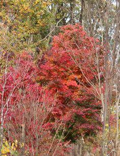 【2015年11月上旬撮影】 庭の紅葉もそろそろ終わり。庭を鮮やかに染めた木々も、葉っぱを落とし始めました。