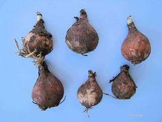 βολβοί Onion, Survival, Food And Drink, Vegetables, Health, Gardening, Diy, Health Care, Bricolage