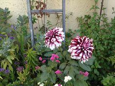 'Tartan' dahlia. Driveway Border, Dahlia, Tartan, Ladder Decor, Gardening, Canning, Floral, Flowers, Plants