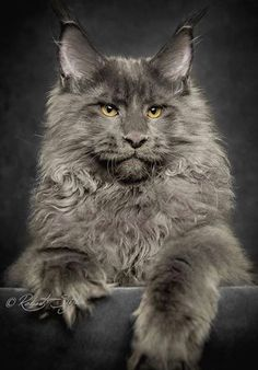 Interested in owning a Maine Coon cat and want to know more about them? The Maine Coon kitten adoption will be a great choice. Certainly unique, this coon kitten is fabulous. Pretty Cats, Beautiful Cats, Animals Beautiful, Cute Animals, Animal Gato, Mundo Animal, Cute Kittens, Cats And Kittens, Siberian Cats For Sale