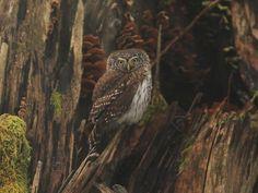 Eurasian Pygmy Owl (Glaucidium passerinum). Photo by Tomasz Samolik.