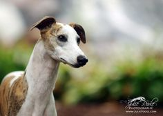 Whippet. By Julie Poole.