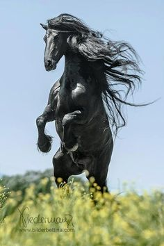 Horses✿♫❤ Gorgeous black horse rearing up with mane flying. Most Beautiful Animals, Beautiful Horses, Beautiful Creatures, Beautiful Gorgeous, Black Horses, Wild Horses, Dark Horse, Black Stallion, Friesian Horse