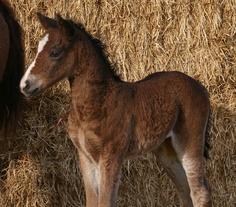 curly horse - Google