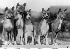 "Early ""Of The Congo""  Basenji pups."