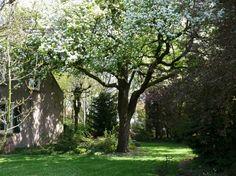 Gewone peer in de tuin van Abcovenseweg 20